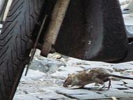 Da piazza Farnese a viale Mazzini torna l'allarme topi al centro di Roma