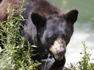 Orso travolto e ucciso nel parco È caccia al «pirata» in fuga