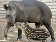 Bioparco, nato un cucciolo di tapiro