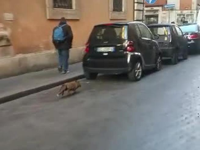 Una volpe in centro a Roma